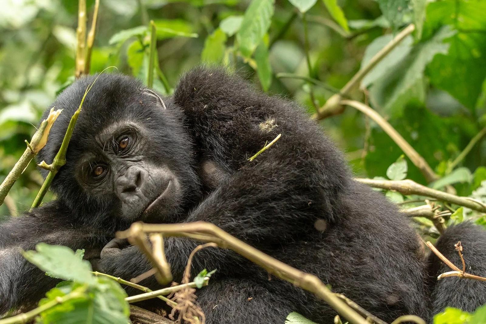 Primates in Uganda, Apes