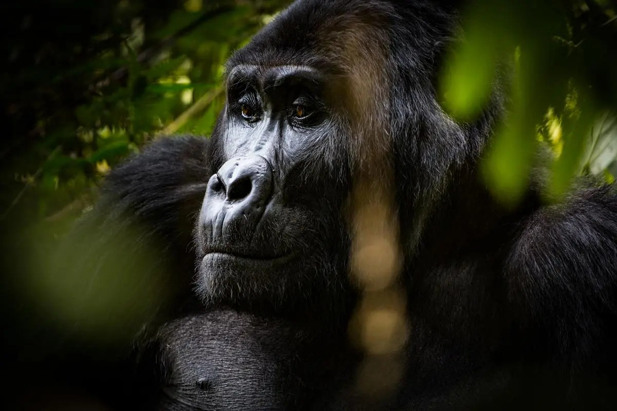 is the gorilla trekking experience worth it? Mother gorillas face.