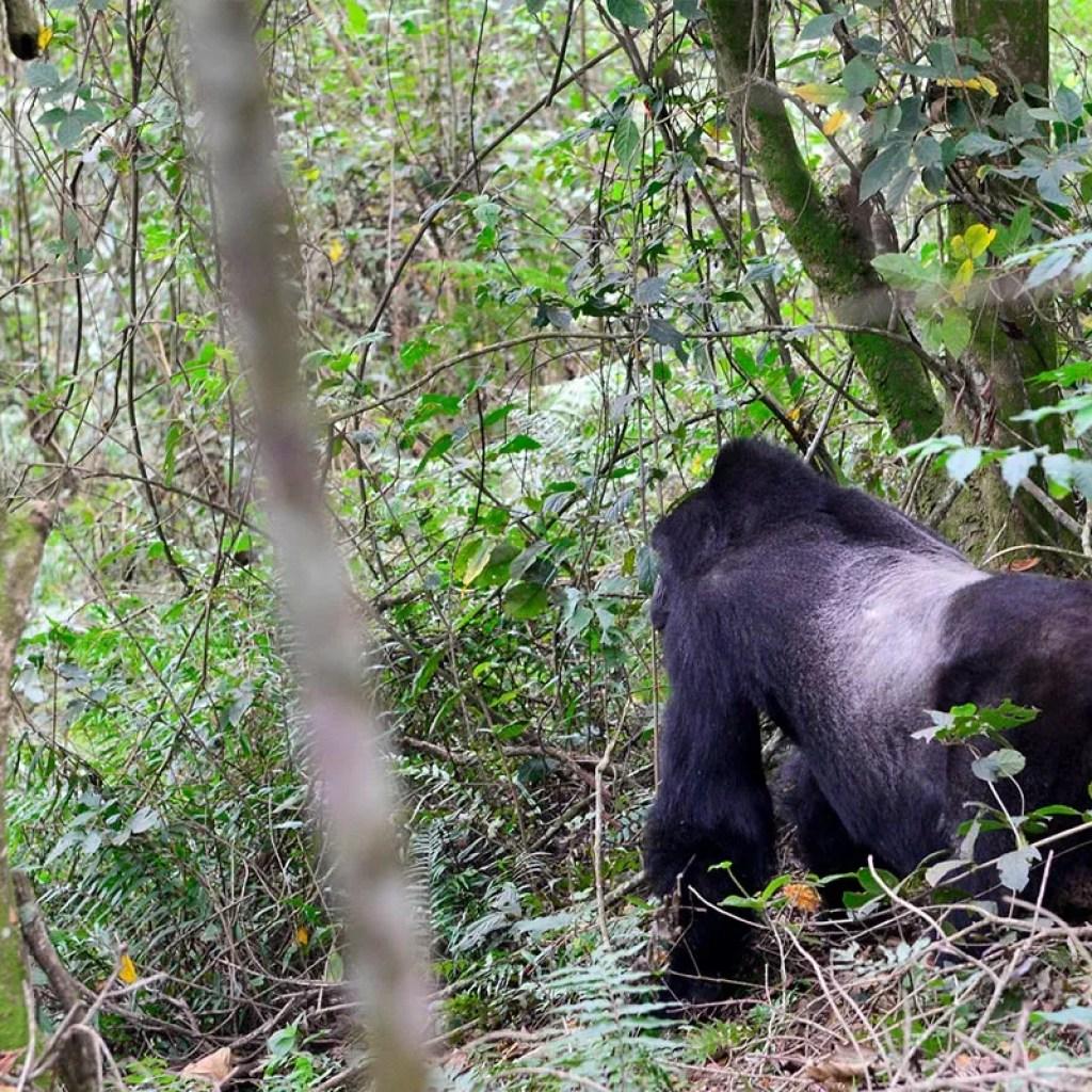 Silverback gorilla: my uganda safari experience
