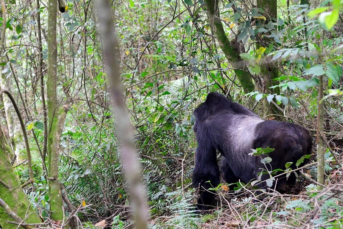 Silveback mountain gorilla in bwindi