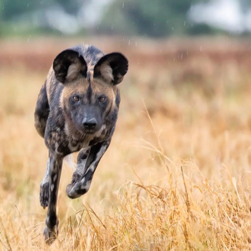 African hunting dog (Lycaon pictus) in Uganda