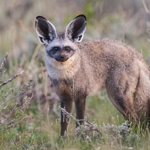 Bat-eared fox in Kidepo Valley Uganda