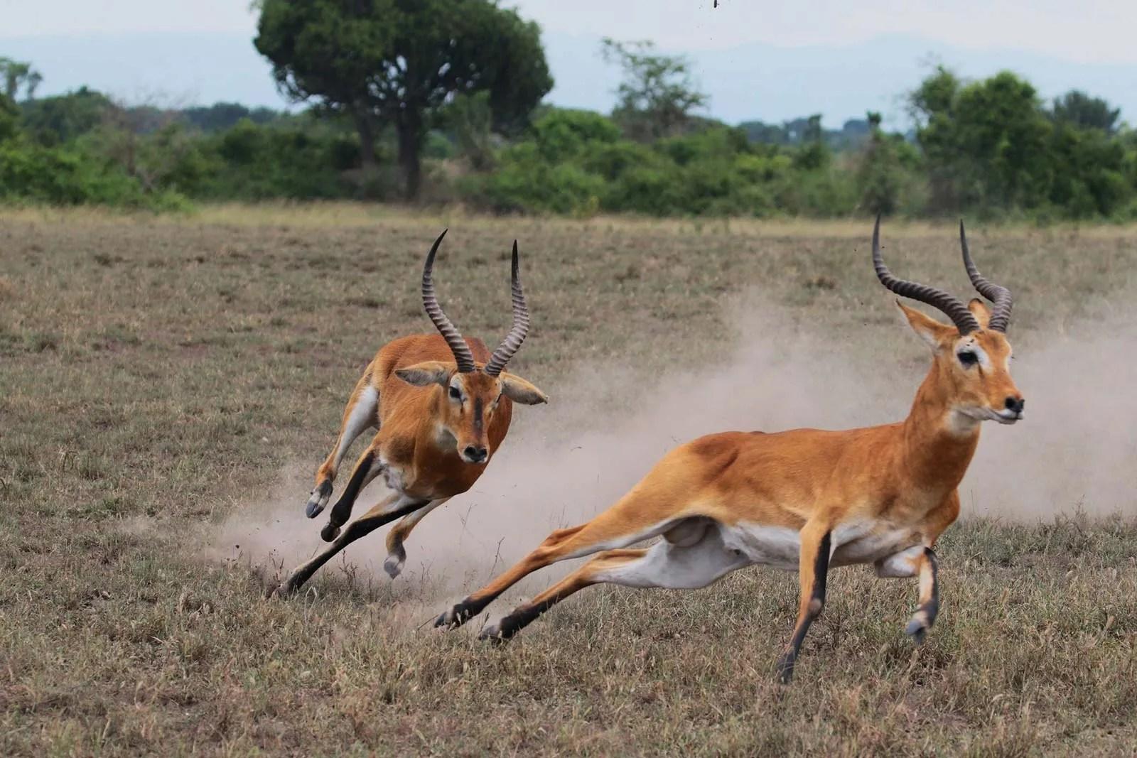 Uganda Kob (Kobus kob thomasi)