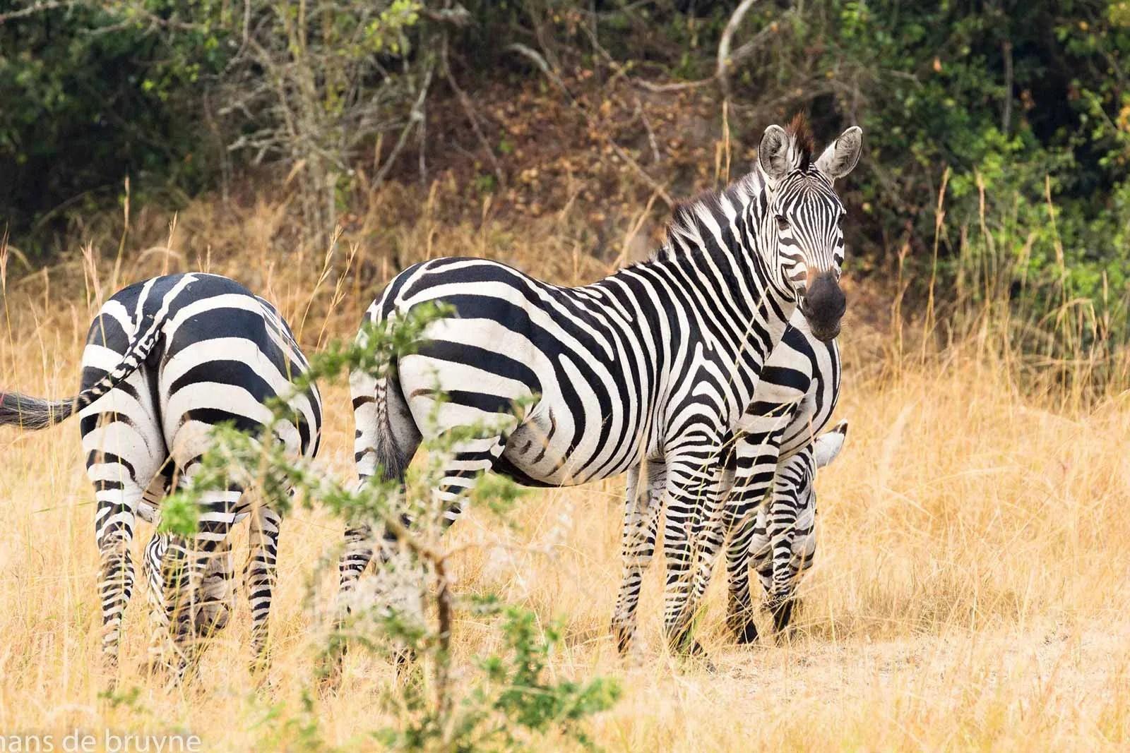Burchell's zebra in Uganda