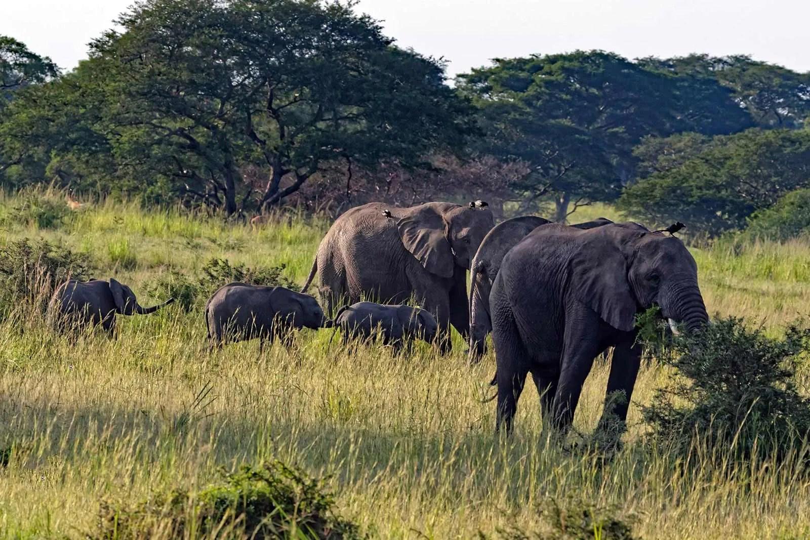 African elephants uganda