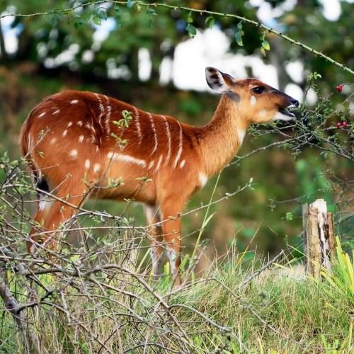 Sitatunga (Tragelaphus spekei) Uganda