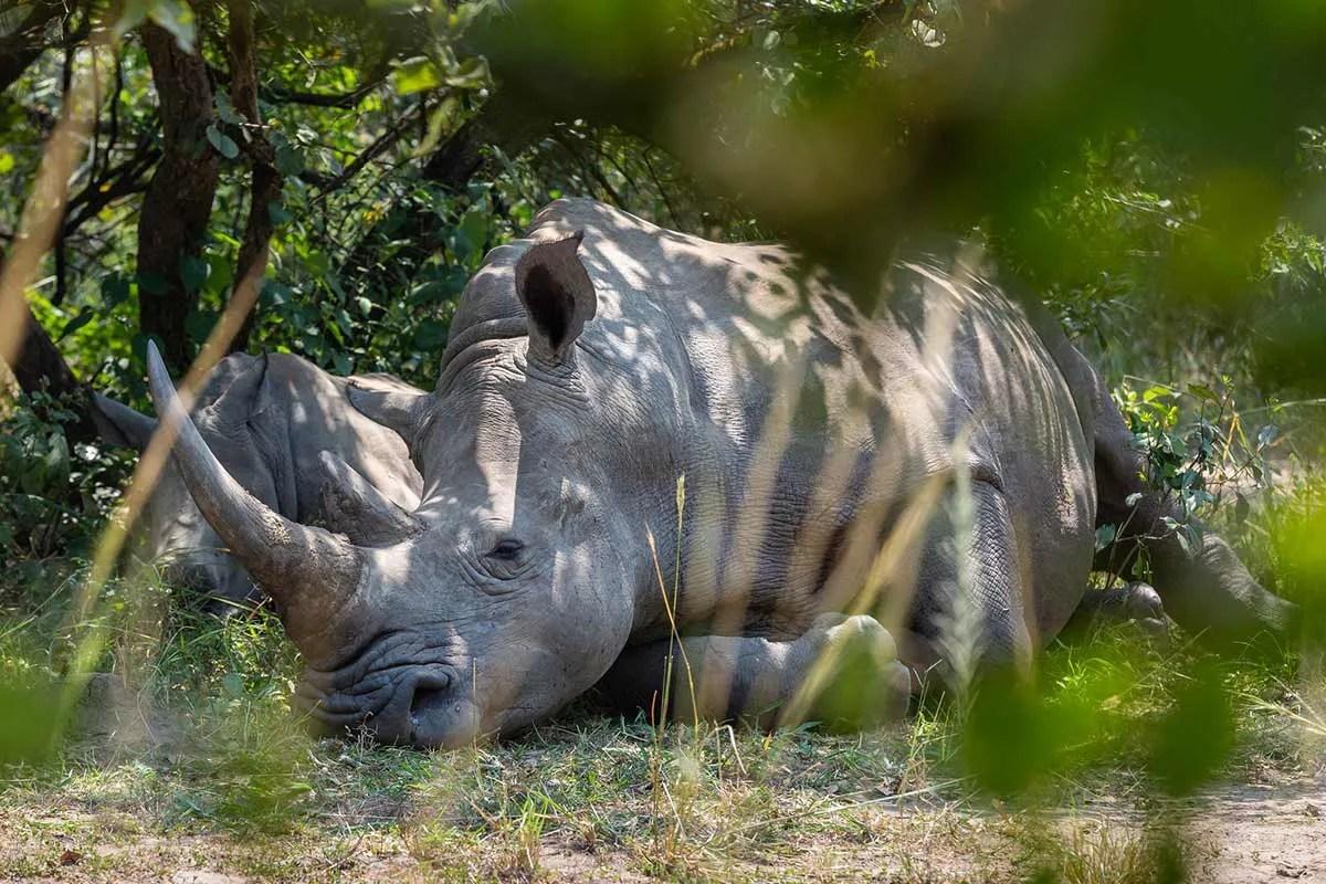relaxing white rhino
