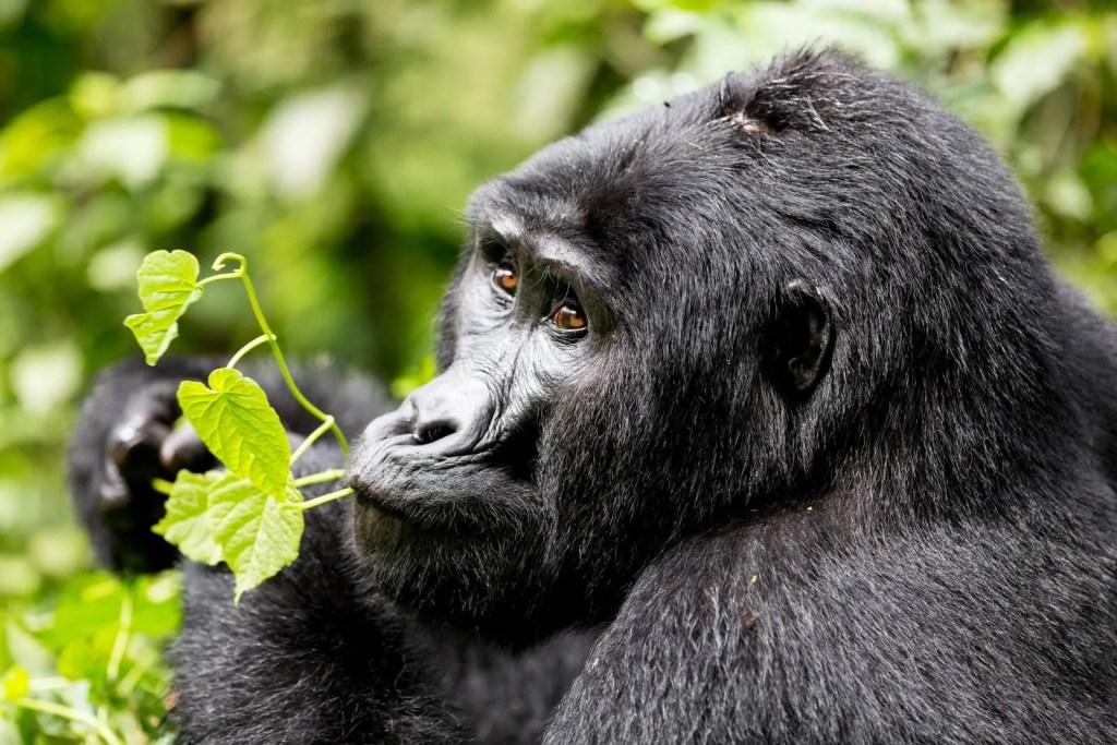 Uganda gorilla trip, gorilla trekking Bwindi