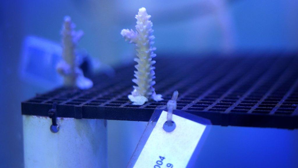Muestra de coral estudiada en el Iberostar Coral Lab República Dominicana