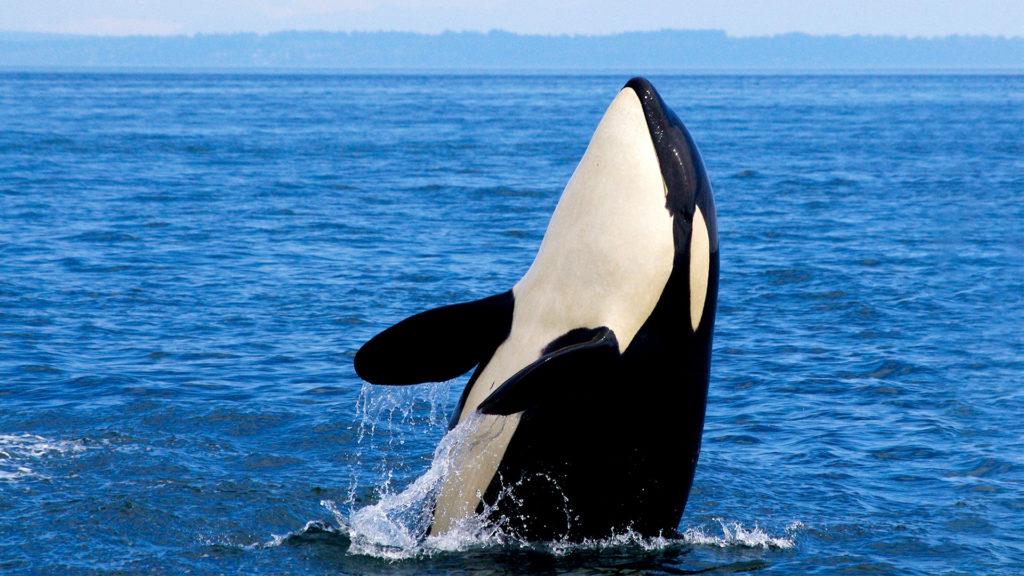 TripAdvisor no venderá, generará ingresos de reserva ni mantendrá relaciones comerciales con atracciones que contribuyan al cautiverio de orcas, delfines y otros cetáceos (Foto: Fuente externa)