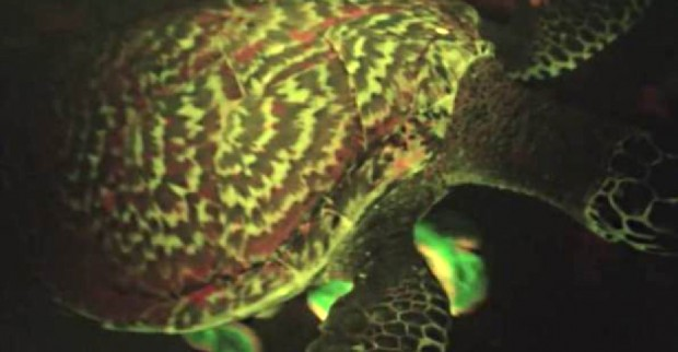 bioflourescent-turtle-1