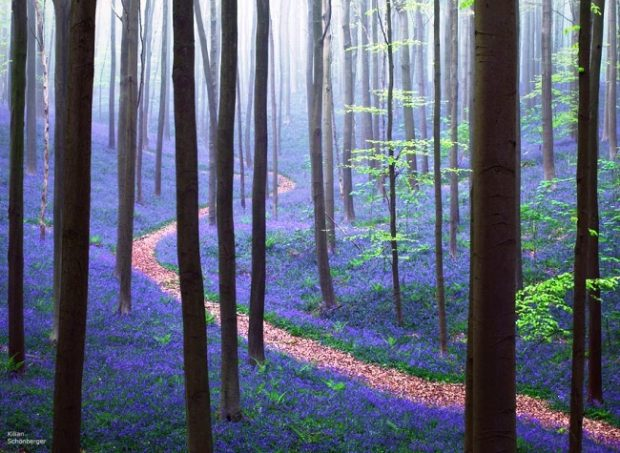 87655-R3L8T8D-650-bluebells-blooming-hallerbos-forest-belgium-1-1