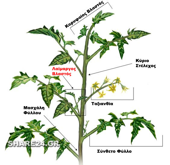 pos-kladevoume-tin-ntomata-gia-na-desoun-kalytera-i-karpi-tomato1