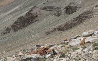 Marmotte du Zanskar