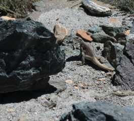 Trek au Zanskar en Himalaya - Lézard