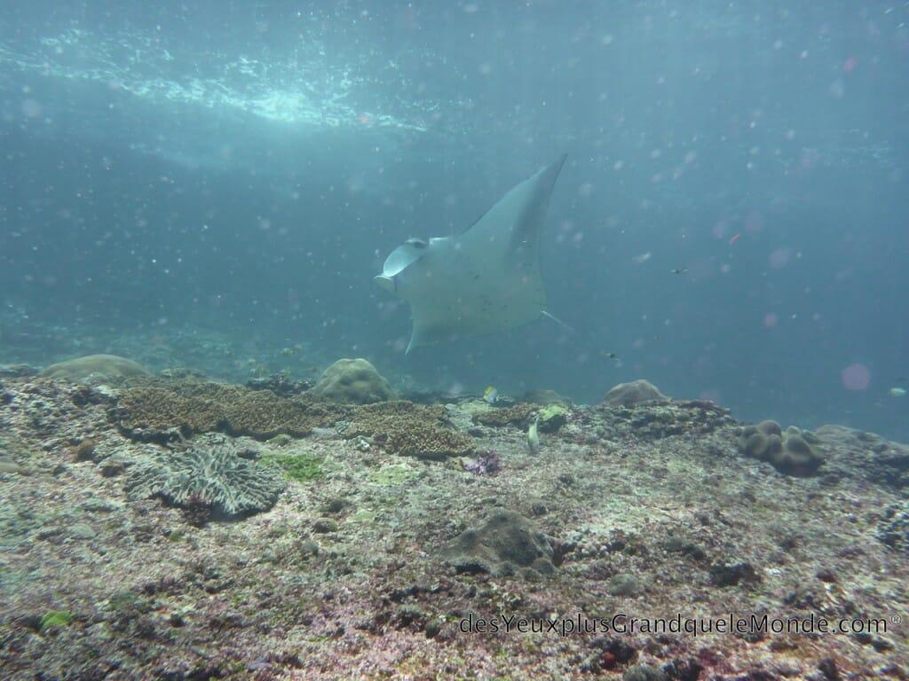 Apprendre la plongée à Bali - Raie Manta