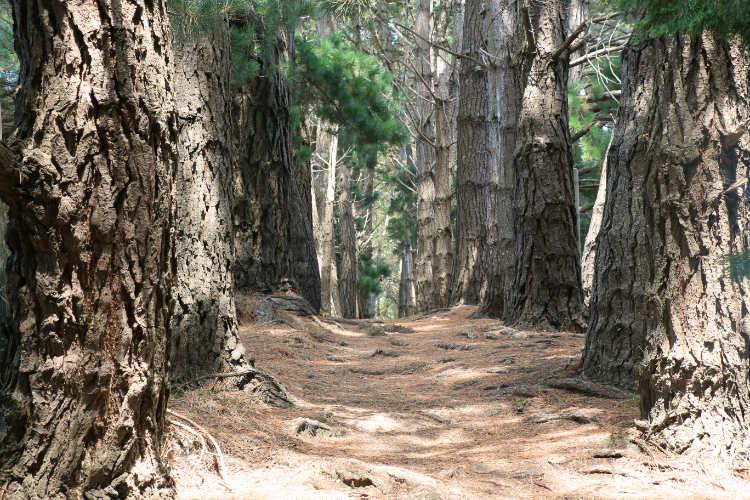 Belle-Ile-en-Mer - Forêt de pins entre le Palais et Sauzon