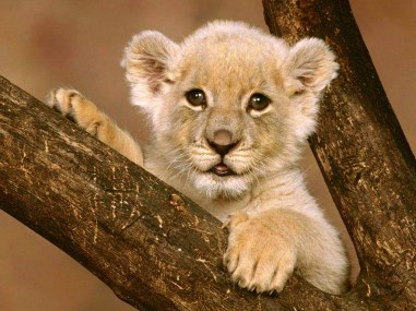 free-wallpaper-animal-cub-lion