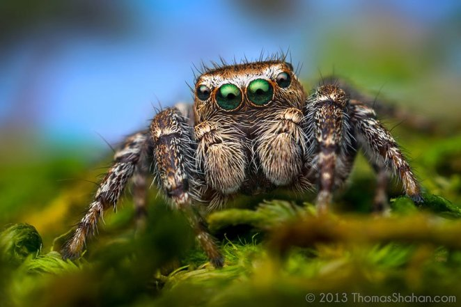 jumping-spiders-macro-photography-thomas-shahan-13