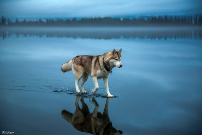 Siberian Huskies On Frozen Lake - 10 Stunning Photos
