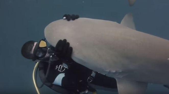 lemon-shark