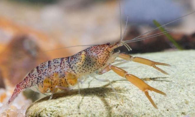 freshwater-shrimp