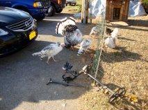 Turkeys investigate my E-trac in West Virginia