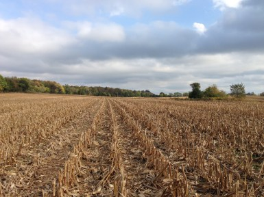 The Corn Fields