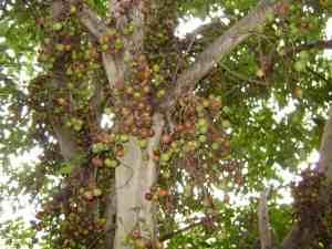 drzewofigowe