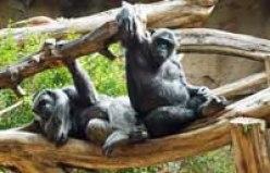 chimpanzees Loro Parque