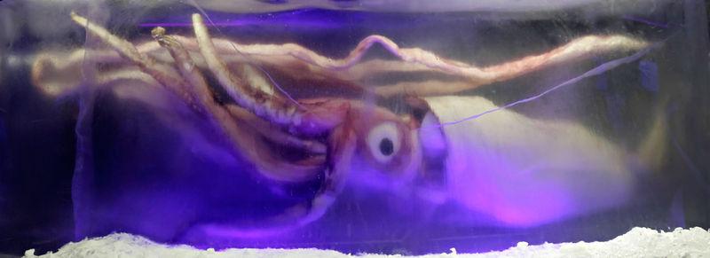 calamar gigante Kraken