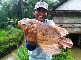 Manfaat Daging Ikan Gurami: Panjangkan Usia