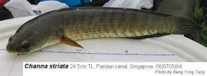 Manfaat Daging Ikan Gabus: Menyembuhkan Luka hingga Penyakit Autis