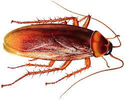 Manfaat Kecoa: Serangga Pembunuh Bakteri