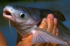 Manfaat Ikan Patin Bagi Kesehatan: Sumber Protein
