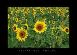Manfaat Bunga Matahari Untuk Kesehatan: Mengobati Keputihan, Sakit Kepala, Sampai Sakit Gigi