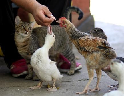 Arti Mimpi Dipatok Ayam
