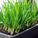 Por qué debería plantar sus cebolletas en el alféizar de la ventana en lugar de dejarlas en el agua