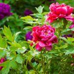 Plante estas flores aptas para la fiebre del heno si tiene alergias