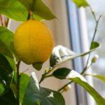 Cómo cultivar un limonero en interiores