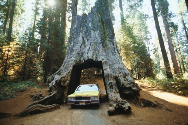 Yosemite tree car