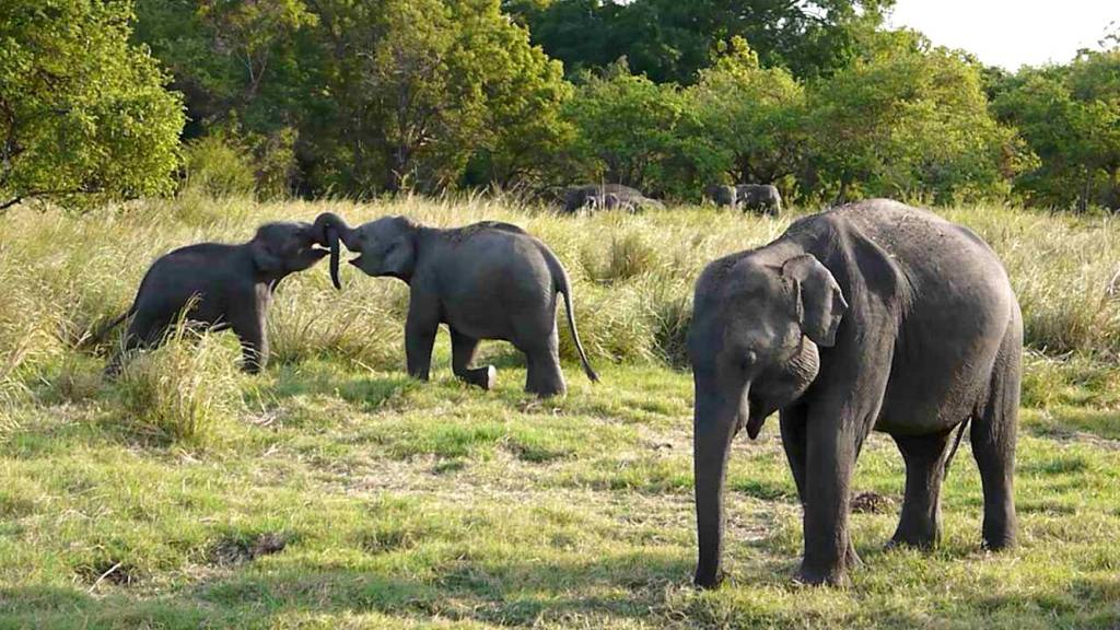 elephants safari sri lanka