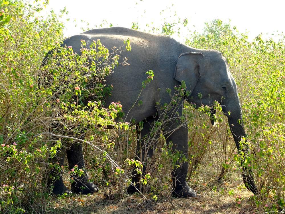 uda walawe elephant