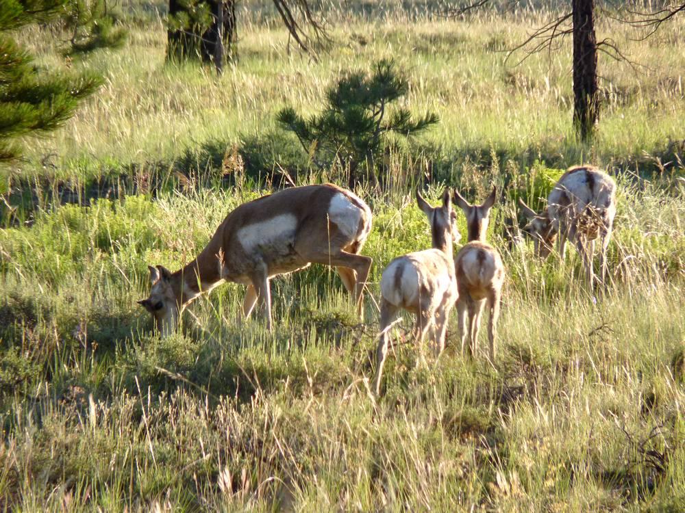bryce canyon antelope