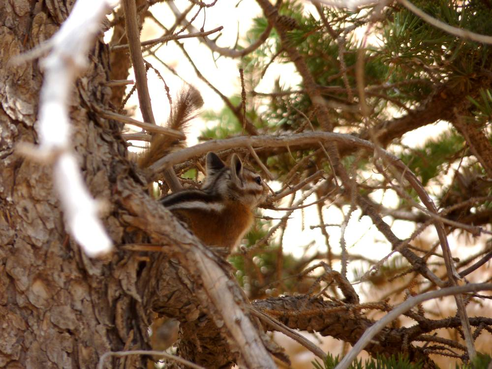 chipmunk bryce canyon