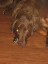 My Chocolate Lab