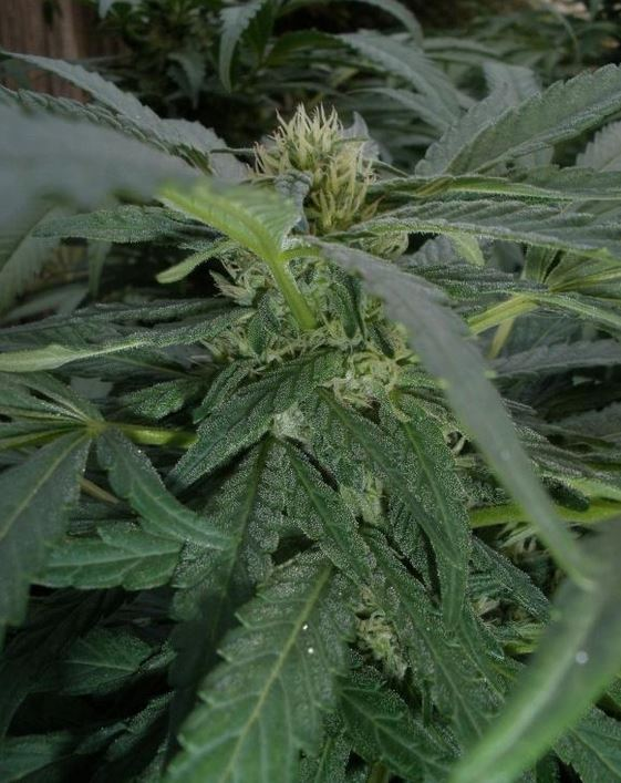 Indica plant picture Wikipedia