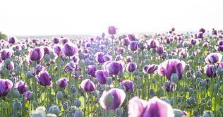 JNJ Australia – Tasmania Opium Poppy Farms