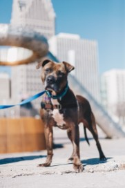 Starbucks, a dog with the Detroit Dog Rescue, enjoys the sun and people watching at Hart Plaza. Photo Stephanie Hume.