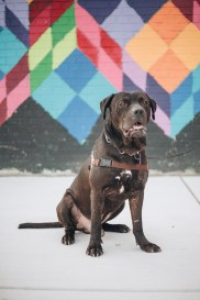 Max, a dog with Detroit Dog Rescue, sits in front of a mural at Balduck Park. Photo Stephanie Hume.